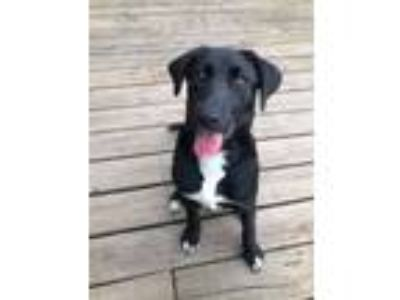 Adopt Penelope *Stunning Pup* a Black Labrador Retriever, Border Collie