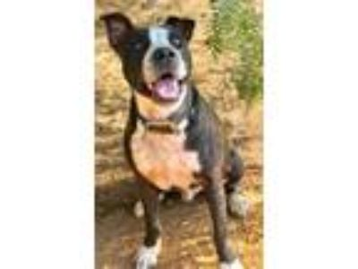 Adopt Rookie COURTESY POST a Bull Terrier / American Staffordshire Terrier /