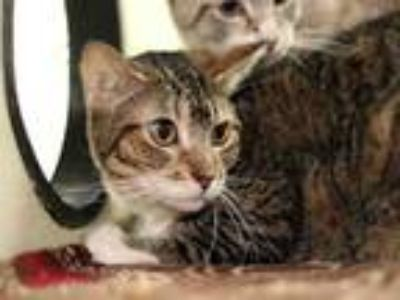 Adopt MARDI a Domestic Short Hair
