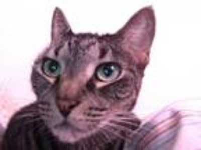 Adopt Fiona a Spotted Tabby/Leopard Spotted American Shorthair / Mixed (short