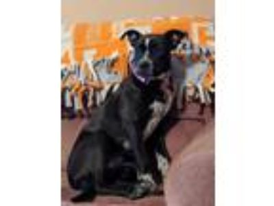 Adopt Sweetie a Black Australian Cattle Dog / Mixed dog in Justin, TX (20104363)