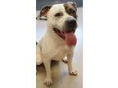 Adopt BAXTER a Brindle - with White Pit Bull Terrier / Mixed dog in Clayton