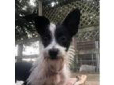 Adopt Dylan a White - with Black Fox Terrier (Wirehaired) / Toy Fox Terrier /