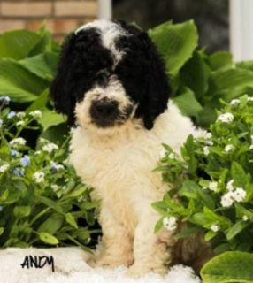 Andy Male F1B Bernedoodle