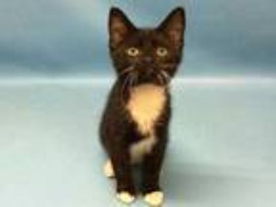 Adopt Skidder a All Black Domestic Shorthair / Domestic Shorthair / Mixed cat in