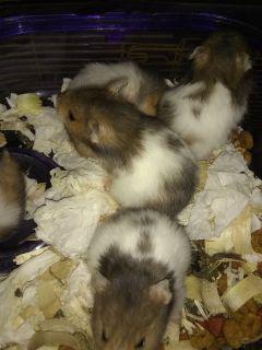 Babie hamsters