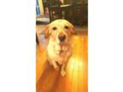 Adopt Okey a Tan/Yellow/Fawn Labrador Retriever / Beagle / Mixed dog in Front