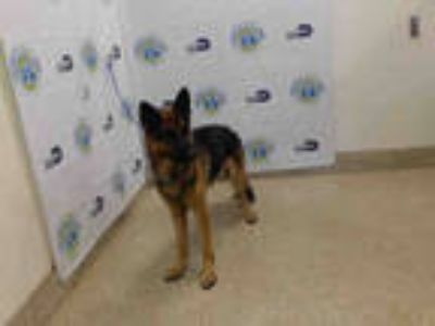 Adopt LUCKY a Black - with Brown, Red, Golden, Orange or Chestnut German