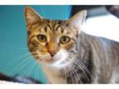 Adopt Susan a Domestic Short Hair