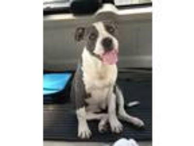 Adopt Bailey blue a Pit Bull Terrier, Boxer
