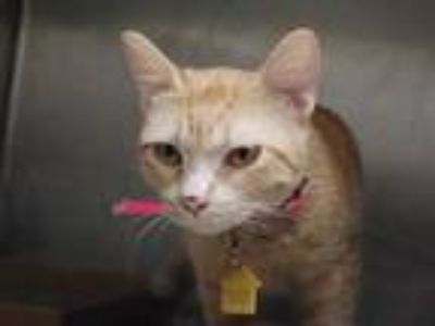 Adopt BAM BAM a Orange or Red Tabby Domestic Shorthair / Mixed (short coat) cat