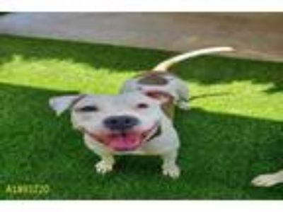 Adopt QUEEN a White - with Brown or Chocolate American Pit Bull Terrier / Mixed