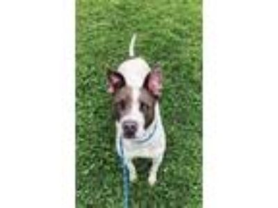 Adopt Nadia a Pit Bull Terrier, Cattle Dog