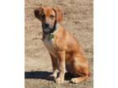 Adopt Buster Booger Nose a Boxer / Hound (Unknown Type) / Mixed dog in