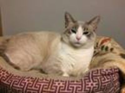 Adopt Annie a Siamese, Domestic Short Hair
