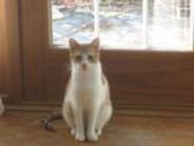 Adopt Charolette a Orange or Red (Mostly) Domestic Shorthair (short coat) cat in