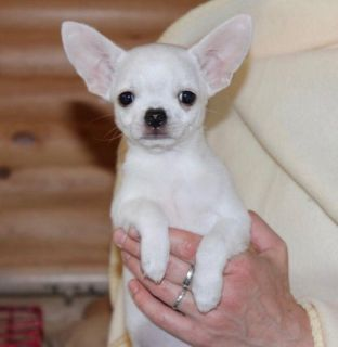 lovely Chihuahua puppies ready to go