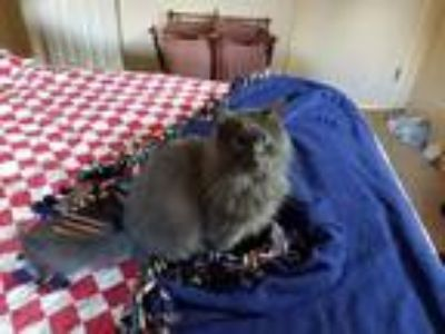 Adopt Luna a Gray or Blue Domestic Longhair cat in Gettysburg, PA (24802488)