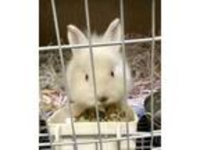Adopt Bonsai a White Other/Unknown / Other/Unknown / Mixed rabbit in Santa