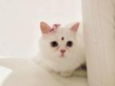 A Beautiful Doll Face Female Cat