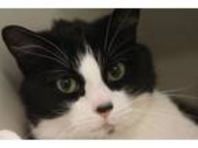 Adopt Miss P a All Black Domestic Shorthair / Mixed cat in Independence