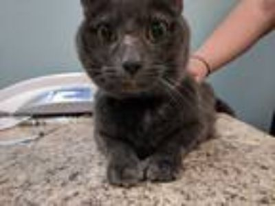 Adopt Jorge a Gray or Blue Domestic Shorthair / Mixed (medium coat) cat in