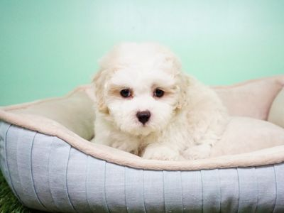 Maltipoo PUPPY FOR SALE ADN-105264 - Maltipoo Female QTip