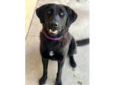 Adopt Zelle a Retriever, Mixed Breed