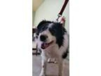 Adopt Eddy a Border Collie
