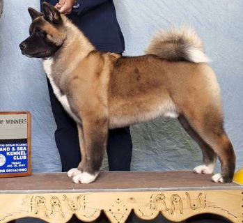 Akita PUPPY FOR SALE ADN-71706 - Great Male Akita Available