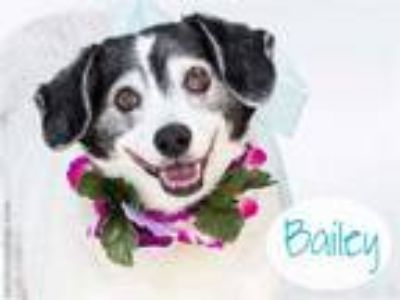 Adopt BAILEY a White - with Black Jack Russell Terrier / Mixed dog in