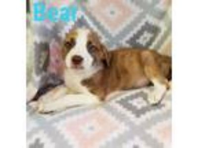 Adopt Bear a Brindle - with White Cattle Dog / Border Collie dog in Grand
