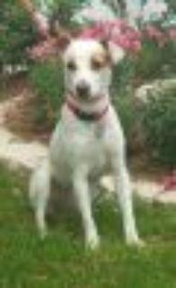 Legend Smooth Fox Terrier - Beagle Dog