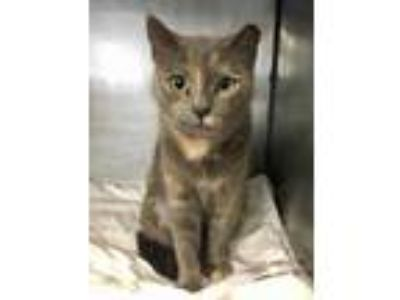 Adopt Cashmere a Gray or Blue Domestic Shorthair / Domestic Shorthair / Mixed