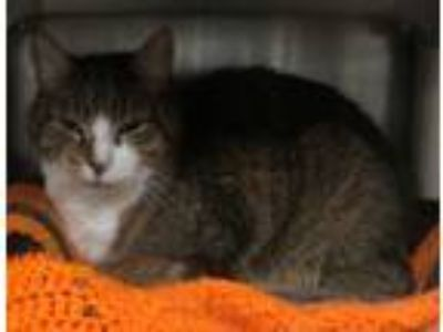 Adopt SAMMY a Tabby, Domestic Short Hair