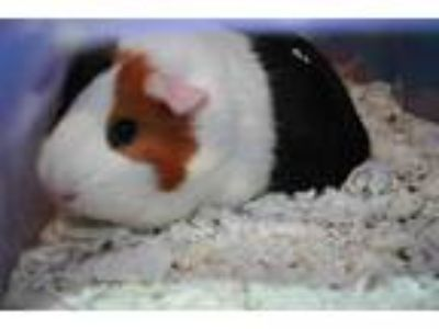 Adopt ELSA a White Guinea Pig / Mixed small animal in Modesto, CA (25928598)