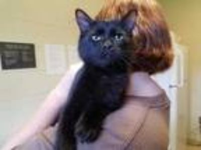 Adopt Will a All Black Domestic Shorthair / Domestic Shorthair / Mixed cat in