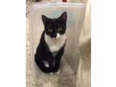 Adopt Mindy a Domestic Short Hair