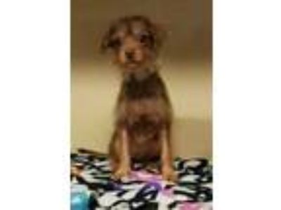 Adopt Apple a Red/Golden/Orange/Chestnut Mixed Breed (Small) / Mixed dog in