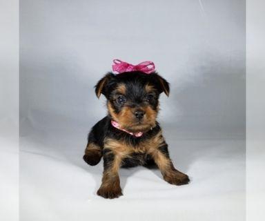 Yorkshire Terrier PUPPY FOR SALE ADN-121035 - Yorkshire Terrier Puppied