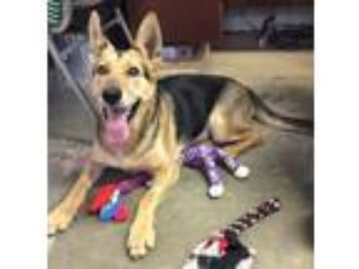 Adopt Honey Bear a German Shepherd Dog