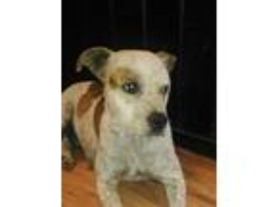 Adopt Freckles a Brindle - with White Australian Cattle Dog / Boxer / Mixed dog