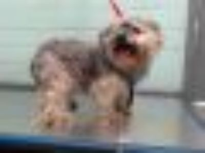 DK Yorkshire Terrier Yorkie - Shih Tzu Dog