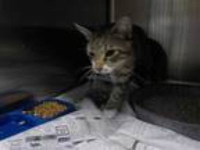 Adopt a Brown Tabby Domestic Shorthair / Mixed (short coat) cat in Temple