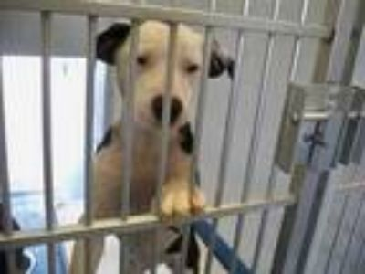 Adopt PIPPA a White - with Black Labrador Retriever / Mixed dog in Pearland