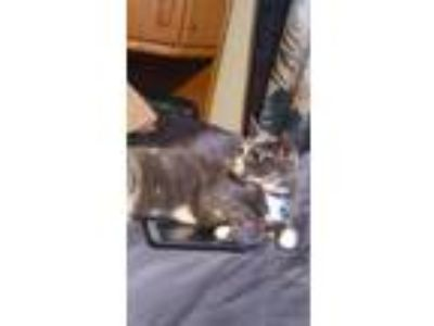 Adopt Kiki a Calico or Dilute Calico Calico / Mixed cat in Eden Prairie