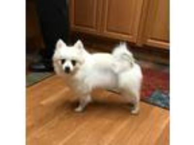 Adopt Fluffie a White Pomeranian / Mixed dog in Battle Creek, MI (25303138)