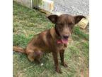 Adopt GEORGIE a Chocolate Labrador Retriever, Border Collie