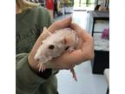 Adopt Vivi a Buff Rat / Rat / Mixed small animal in Boone, NC (25284821)