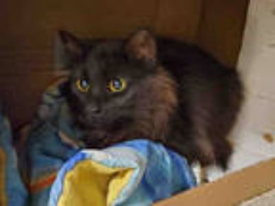 Adopt COCOA PUFF a All Black Domestic Longhair / Mixed (long coat) cat in